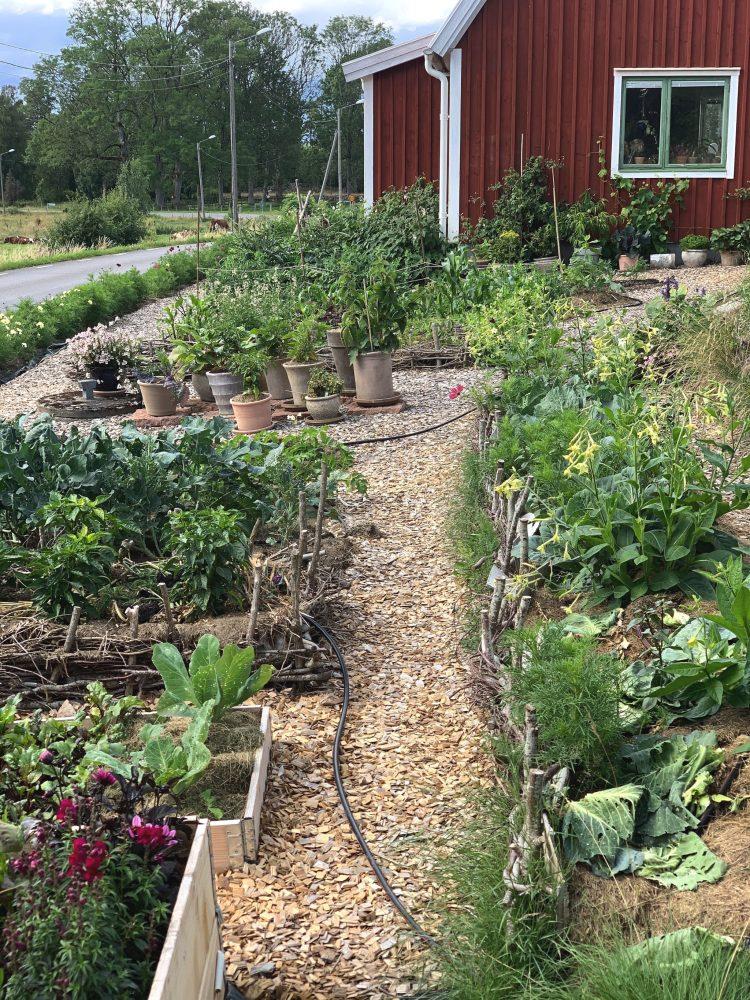 Bild på liten köksträdgård med bäddar med grönt i rad.