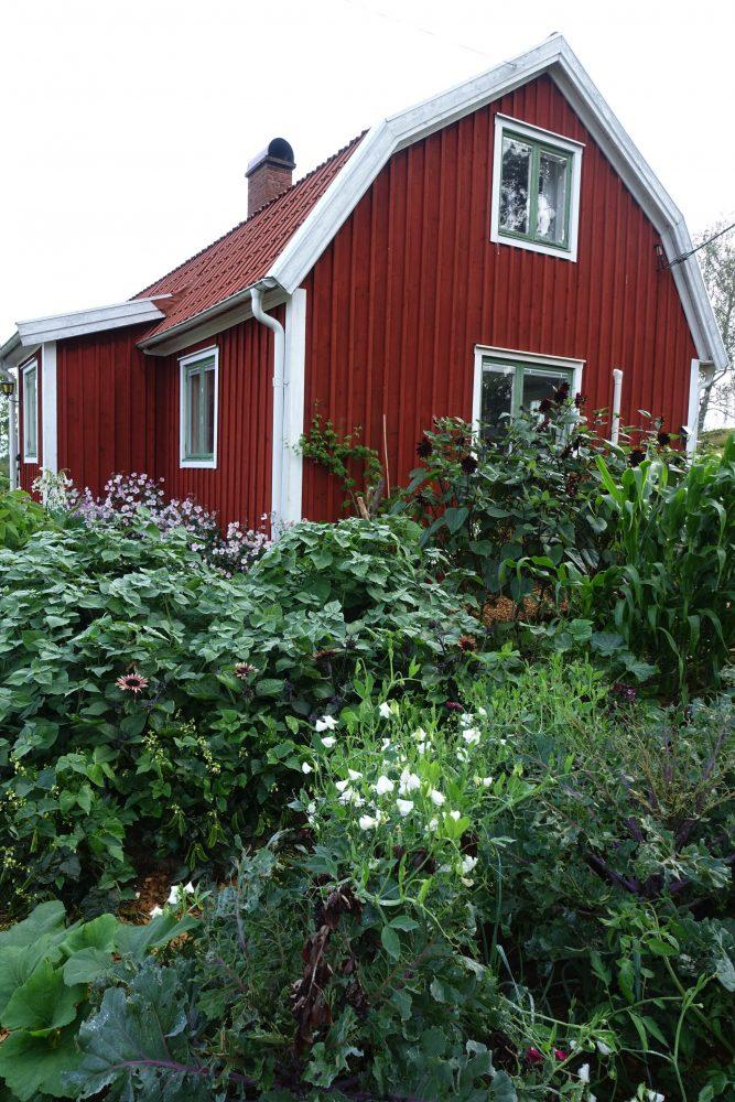 Frodig köksträdgård med höga växter framför rött hus.