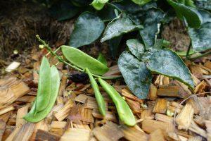 Närbild på en planta med gröna baljor.