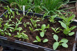 Ett tråg med små plantor som står planterade.