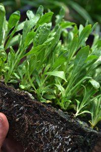 En klump med många plantor hålls i en hand.