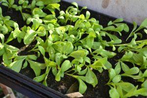 Ett svart tråg med gröna växter i.