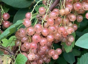 Närbild på rosa vinbär i stora klasar på en buske.