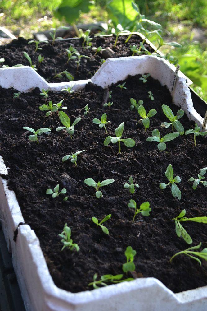En frigolitlåda med små plantor i.