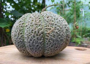 Ett fint exemplar av en melon odlad i ett tunnelväxthus i Småland.