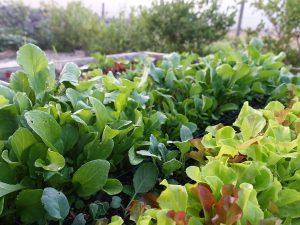 En frodig rad av sallat i en köksträdgård.