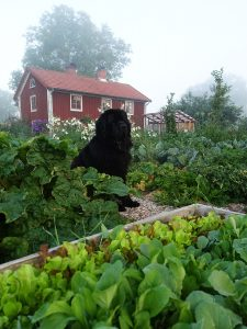 En svart newfoundland-hund i Skillnadens trädgård.