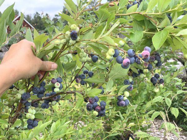 En hand håller upp en tung gren med blå blåbär.