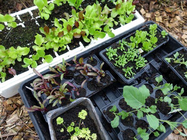 bild på massor av små plantor i olika nyanser av grönt