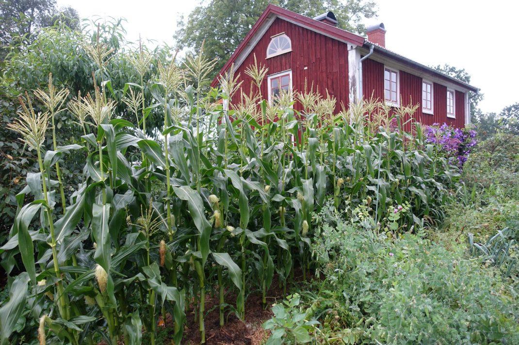 Frodig köksträdgård med rött hus och höga majslantor framför.