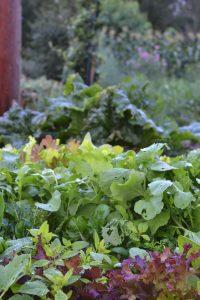 Massor av bladgrönsaker i blandade färger.