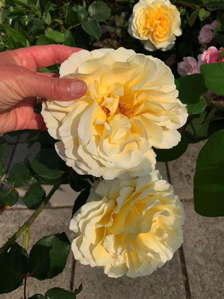 En enormt stor gul blomma, ros.