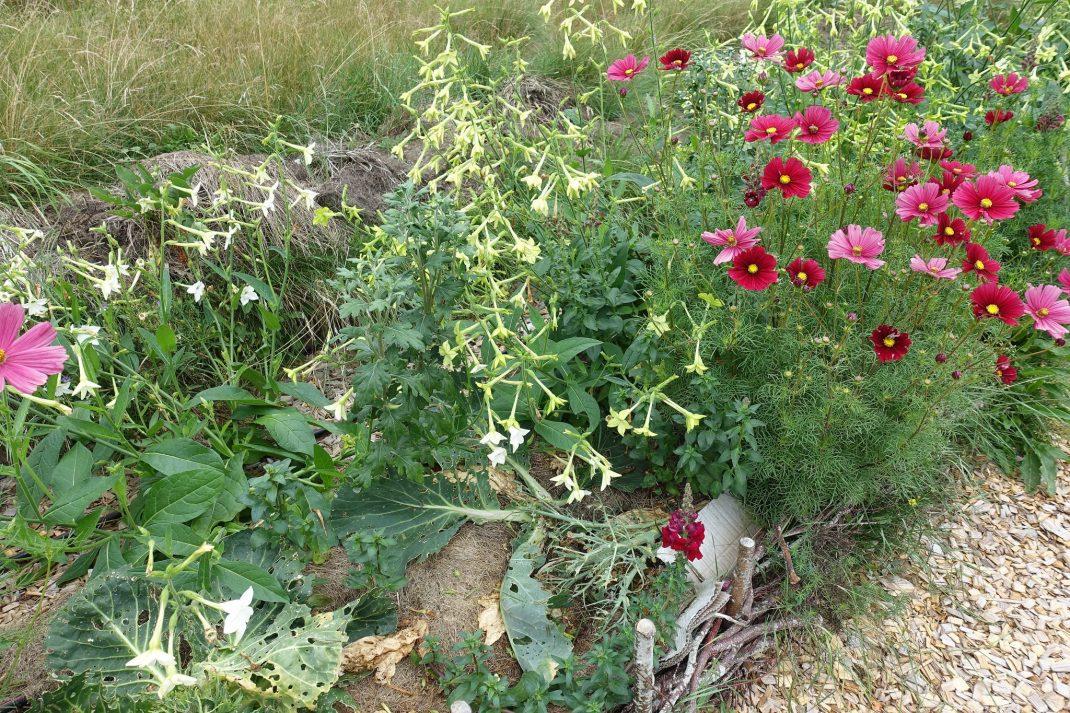 En odlingsbädd med kålrester och sommarblommor.