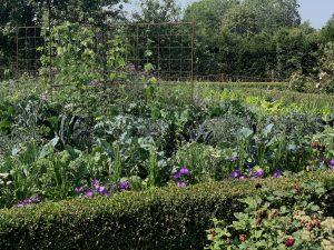 Köksträdgård inramad av en låg häck.