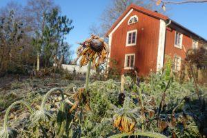 Köksträdgård och hus i sen höstsol och frost.