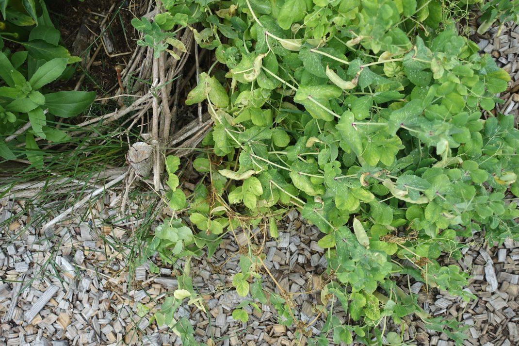 En rad med ärter har lagt sig ner över marken.