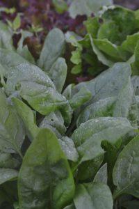 Närbild på grön spenat med fuktdroppar på bladen.