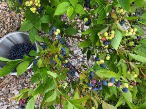 Blåbärsbuske fotograferad ovanifrån med en skål bär under.