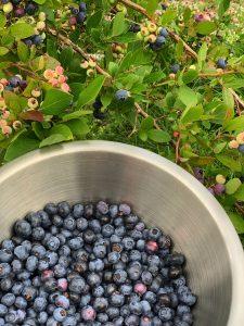 En skål med blåbär vid en buske.