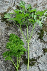 Två sorters bladpersilja, krusbladig och slätbladig, ligger på en sten.