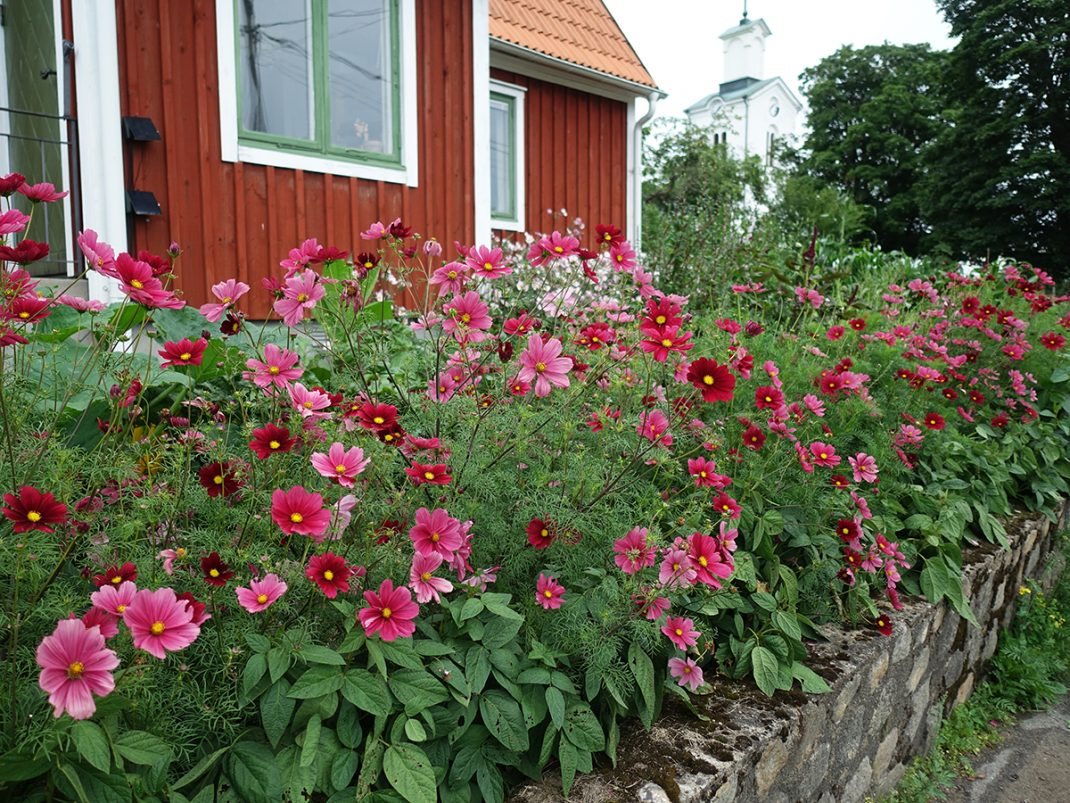 En fantastisk häck bestående av rosenskära i rosa toner omgärdar köksträdgården.