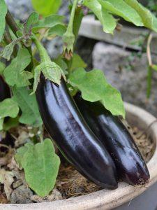 Läckert svarta auberginefrukter i en krukplanta