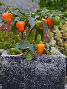 Paprikaplanta i kruka med röda skördeklara frukter.