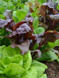 Grön och röd sallat växer i samma bädd på friland