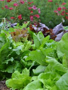 Grön och röd sallat växer på friland