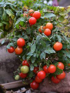 En grön tomatplanta i kruka med massor av röda tomater på.