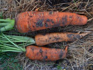Jordiga morötter tyder på nyskördat.