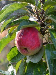 Ett rött äpple på kvist.