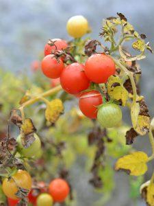 En tomatplantat med röda frukter och vissna blad.