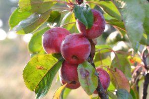 Små röda frukter på ett äppelträd.