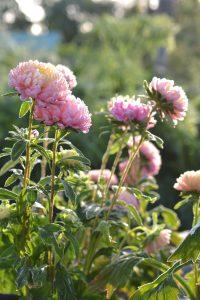 Rosa blommor som är frusna.