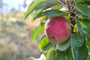 Ett stort rött äpple på ett litet träd, i motljus.