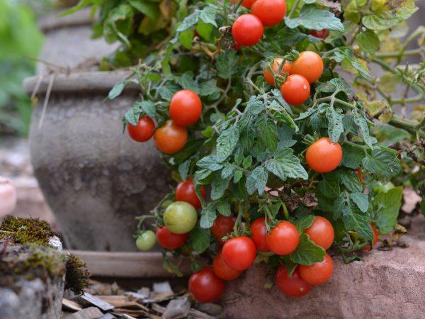 En tomatplanta i grå lerkruka.