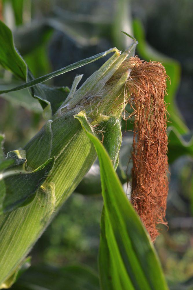 Närbild på majskolv som växer på plantan.