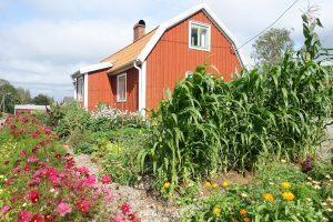 Köksträdgård med massa växter och blommor framför ett rött litet hus.