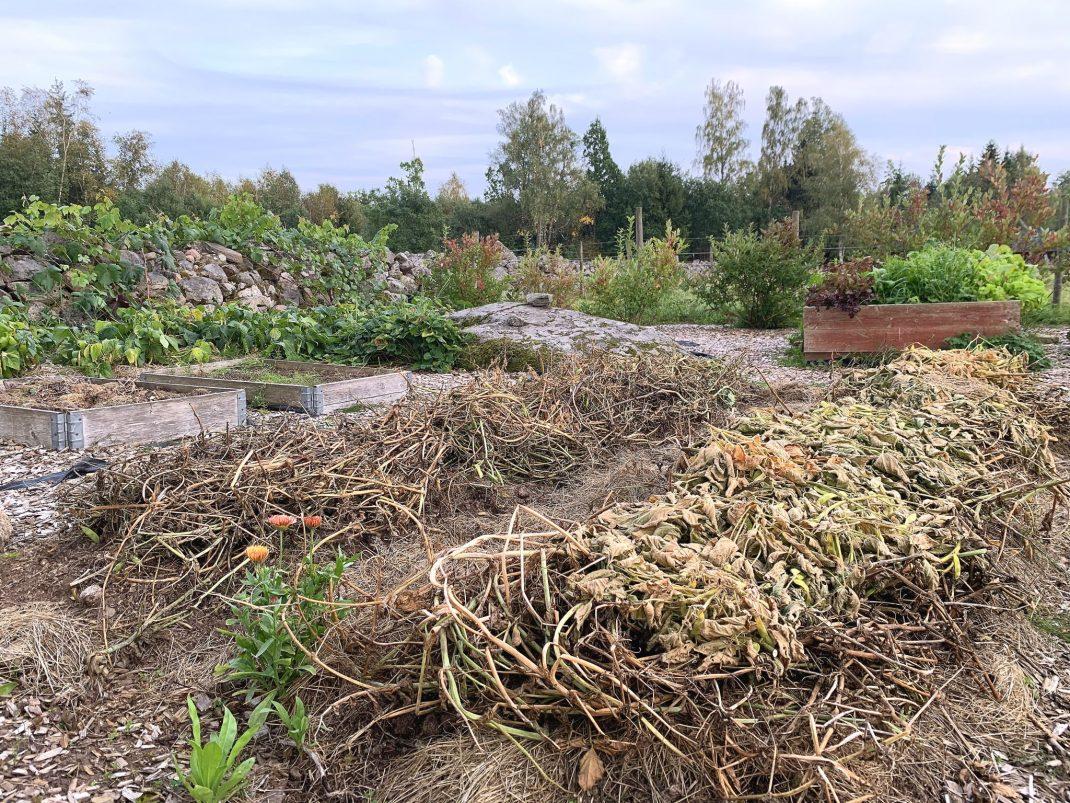 Växtmaterial ligger på två odlingsbäddar.