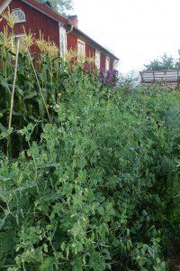 Höga frodiga ärtväxter på rad.
