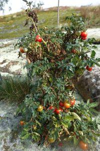 En delvis vissen tomatplanta med röda små tomater på.