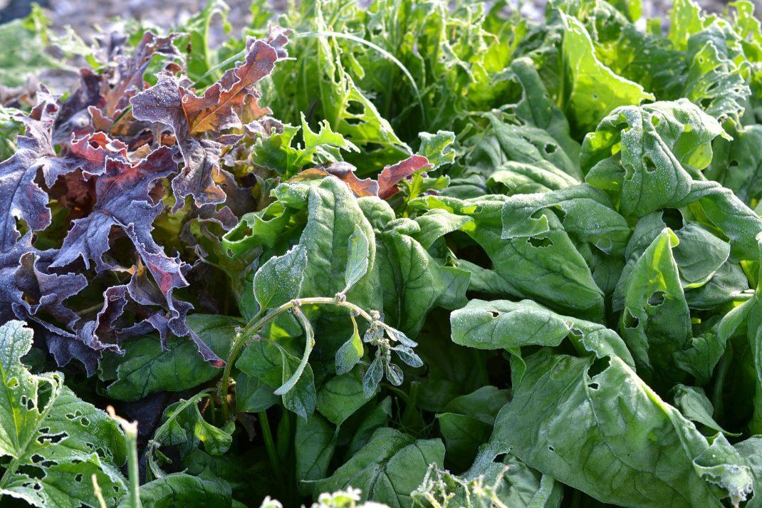 Närbild på frusna blad i purpur och grönt.