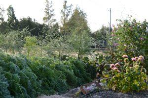 Bild från köksträdgården med slokande morotsblast.