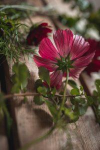 Rosenskära fotograferad underifrån, med rosa kronblad.