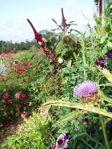 En blomstrande köksträdgård av amarant, luktärt, kronärtskocka, dahlia och rosenskära.