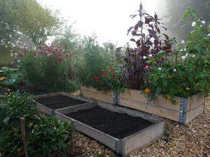 Pallkragar fyllda med jord i en höstig men ännu blomstrande köksträdgård, i väntan på sådd.