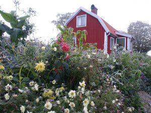En frostnupen blomsterrabatt framför ett rött litet hus.