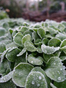 Vintersallat med frostnupna blad