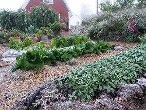 Frostnupen köksträdgård med bäddar fulla av bland annat vintersallat och kinesisk salladskål.
